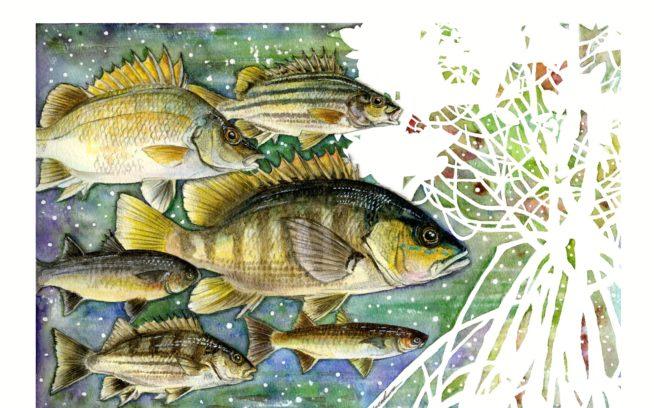 魚類調査対象の6魚種。上からシミズシマイサキ、ニセシマイサキ、ウラウチフエダイ、カワボラ、ナガレフウライボラ、ヨコシマイサキ。イラスト:中根淳一