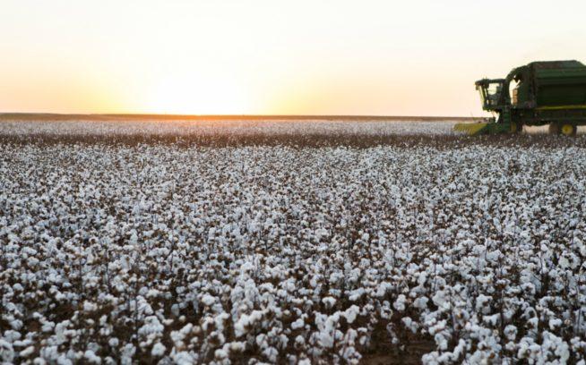 テキサスのオーガニックコットン畑。1996年以来、パタゴニアは合成殺虫剤、除草剤、落葉剤、化学肥料を使い、GMO(遺伝子組み換え)種子を使用する従来のコットン栽培ではなく、害虫を管理し、健康な土壌を構築する天然の解決策を使用するオーガニックコットンのみを使用してきた。Photo: Tim Davis