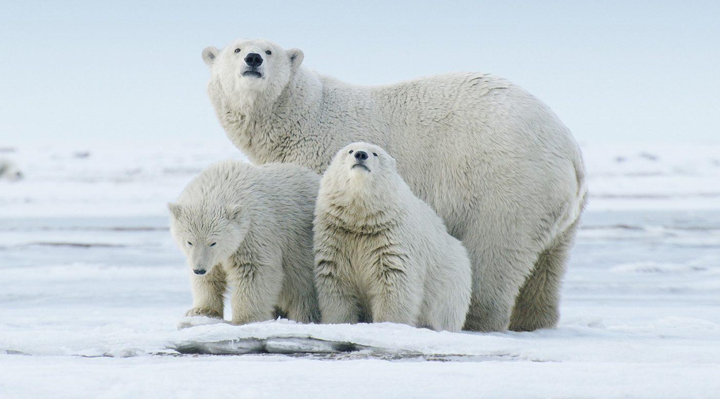 気温の上昇にともなって北極海の氷が急速に消滅しつづけるなか、ホッキョクグマの生息数も減少の一途をたどる。アメリカ地質調査所は、2050年までに3分の2のホッキョクグマが姿を消すと予測する。このホッキョクグマの親子たちは、北極圏国立野生生物保護区の岸辺に憩いの場を見つけることができた。Photo: Florian Schulz