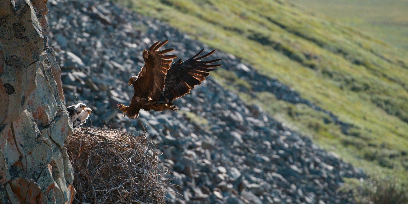 爪でジリスを捕まえながら、2羽の雛の元に戻るイヌワシ。何日も待ちつづけたあと、シュルツ兄弟はやっとこのシークエンスを撮影することができた。北米大陸でも最北端にある巣のひとつ。Photo: Florian and Salomon Schulz