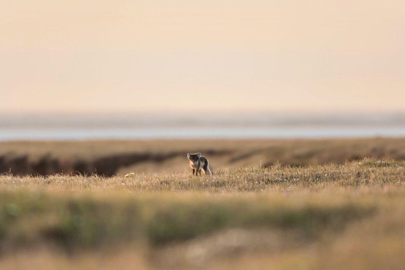 好奇心旺盛なホッキョクギツネ。北極圏国立野生生物保護区の海岸平野。背景はボーホート海。Photo: Nathaniel Wilder