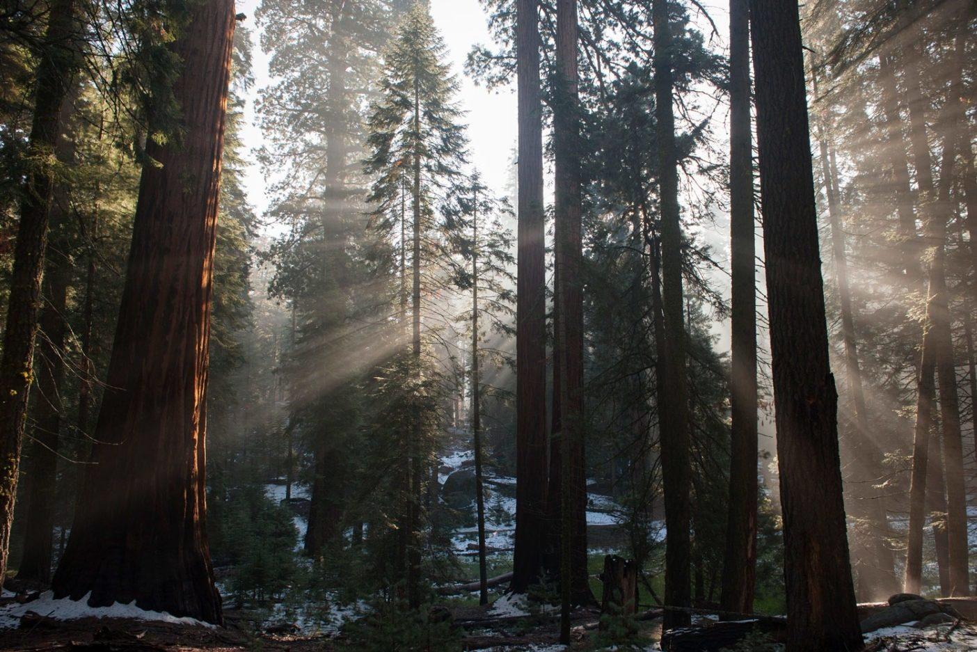 ジャイアント・セコイア国定記念物は、世界最大の種でシェラネバダの西側の山麓わずか60マイルにわたって自然に生息する34の古代の森を保護している。現在、これらの壮大な木々はわずか70ほどの森で生存し、カリフォルニアコンドルの巣を支えるのに十分の大きさを有する唯一の既知の木だ。野生の最後のつがいはこの国定記念物付近で発見されている。これらの木の年輪は過去数千年の環境の変化を記録している。Photo: Jerome Gorin