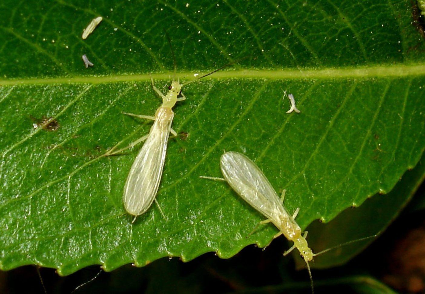 非常に珍しいカワゲラ、ザントペルラ・アピカリス。幼虫は大きな川に生息する。 Photo: © Wolfram Graf