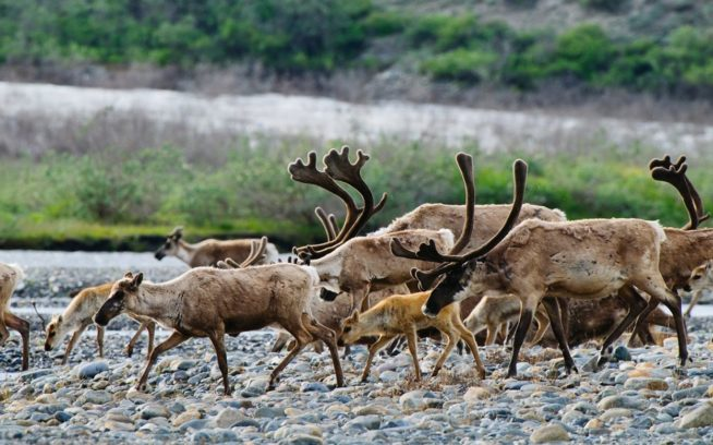 北極圏保護区内のフラフラ・リバーを渡るボーキュバイン・カリブー群のメンバーたち。グループを形成して異なる時期に移動するカリブーは、妊娠した雌牛、前年に生まれた子牛、不妊の雌牛たちがまず海岸平野へと北上し、そのあとに雄牛と残りの若牛たちがつづく。 Photo: Florian Shulz