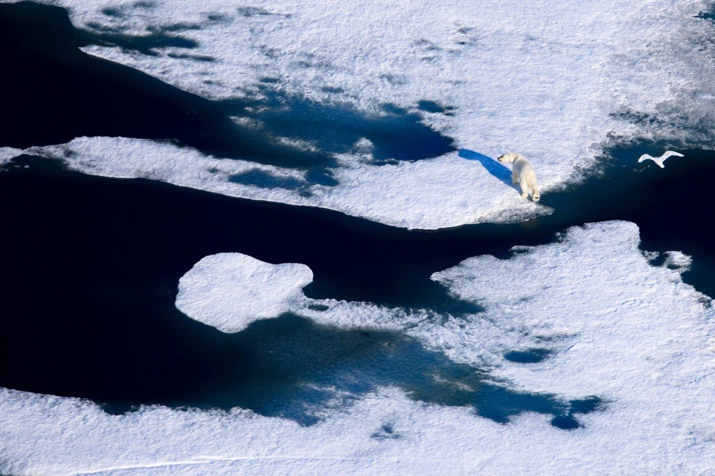 陸地よりもずっと長い時間を海で過ごし、餌と生息地を海に頼るホッキョクグマは、海洋哺乳類とみなされる唯一のクマである。アザラシを探しながらボーフォート海で浮氷塊をうまく通り抜けるホッキョクグマ。Photo: Florian Schulz