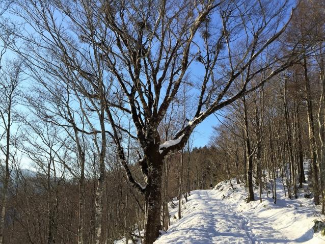 スギ造林地へ向かう途中に残されたブナ。何故この木が残されたのか、今となっては知る由もない。飛騨市宮川町。Photo: Mikihiro NAKAMURA