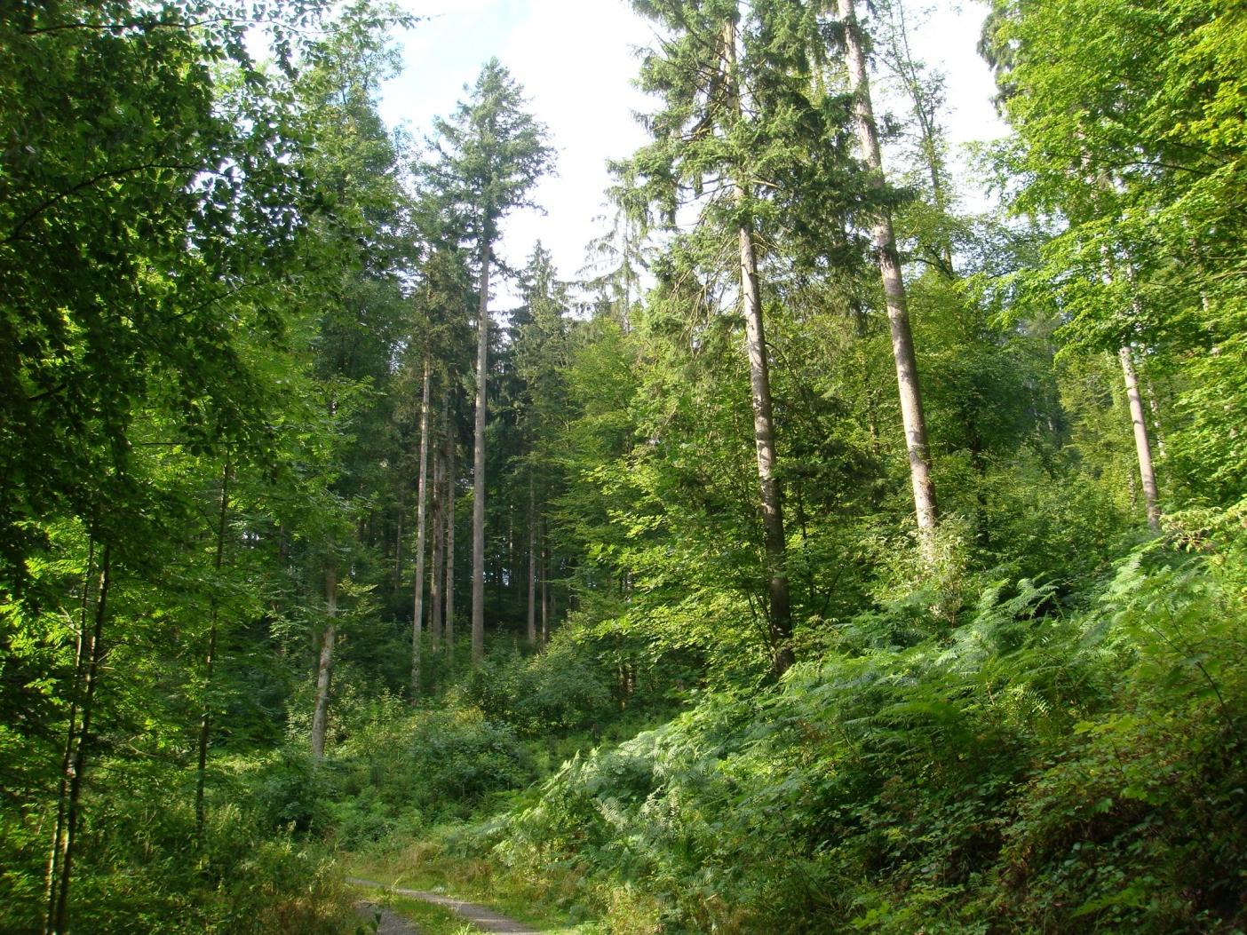 トウヒの一斉林から本来の植生であるブナの森へと再転換していく途中の択伐林スイス・アールガウ州セオン村。Photo: Mikihiro NAKAMURA
