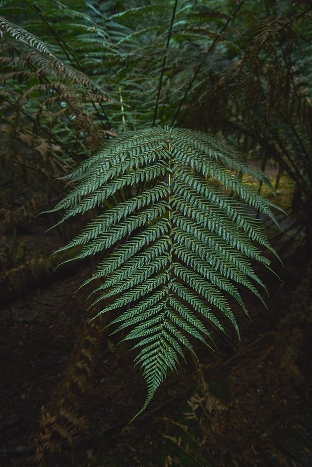 巨大なシダはタカイナの森林の景観の一部。Photo: Mikey Schaefer