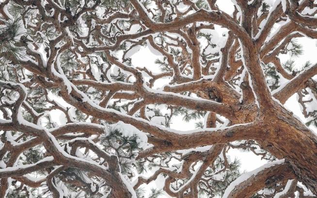 日本の公用地に生える多くの木々は、若木の頃から非常によく手入れが施され、複雑に枝をからませるこのマツのように、独特の美観を作り上げる。山形県 Photo: Garrett Grove