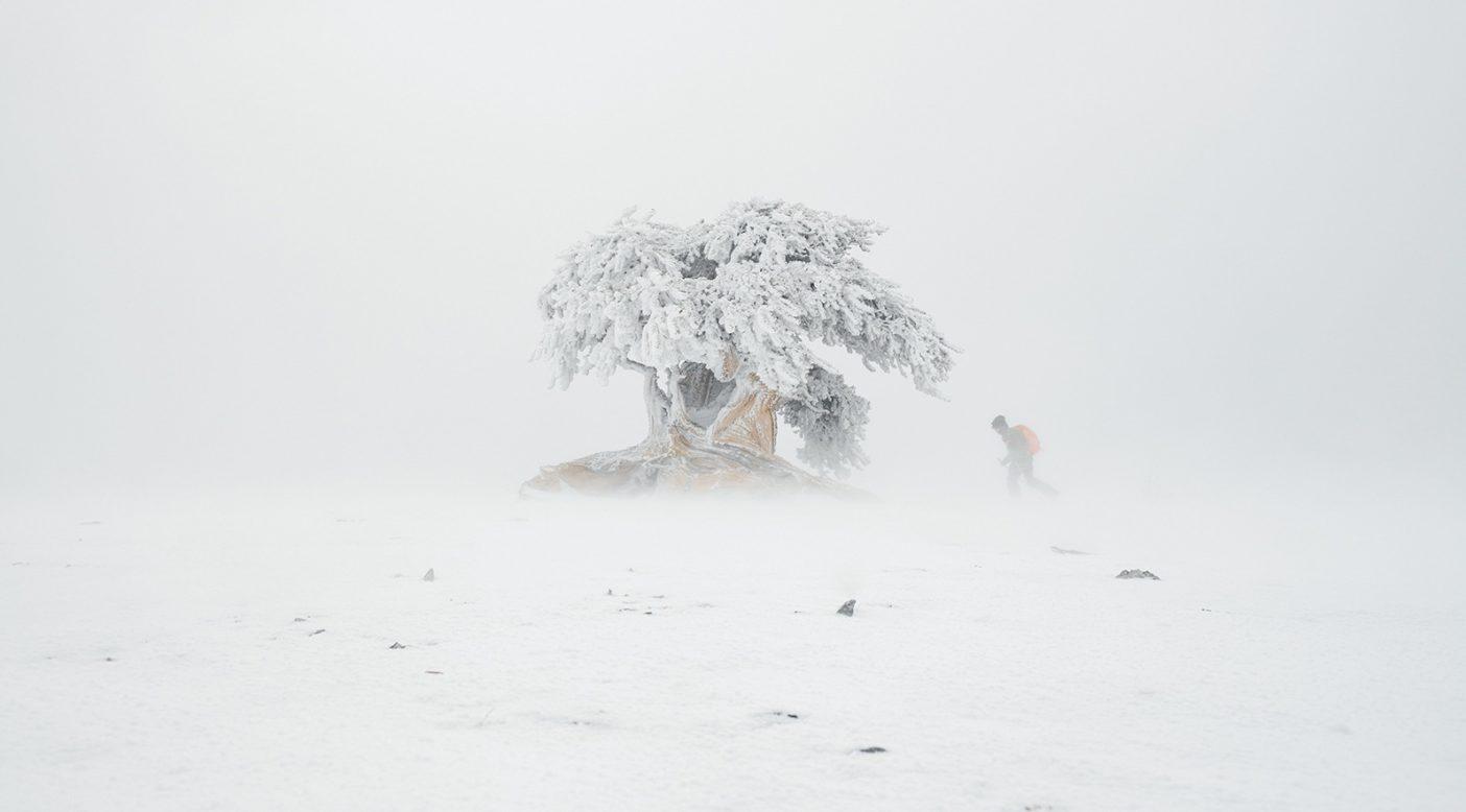 グローブ、マンリー、オリバーの3 人が「オールド・ フレンド」と呼んで崇拝したこの2 〜3 メートルのブリストル コーンは、周囲に他の木々もなく吹きさらしであることから傷だらけで、その根のほとんどは地表に露出している。 Photo: Garrett Grove