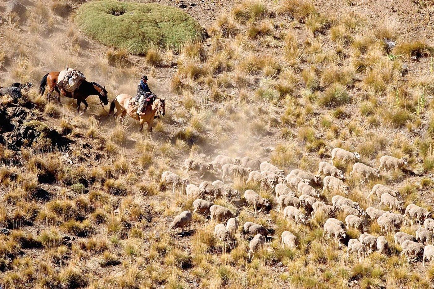 草原における羊の過放牧が砂漠化を進める結果となった。家畜である羊はピューマの食生活の通常の一部となった。チリ、ヴァレ・チャカブコ。photo:Tim Davis