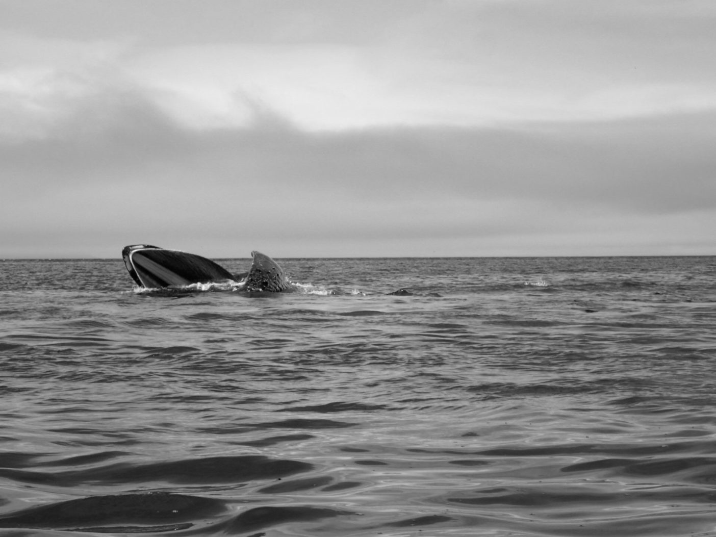 大口を開け捕食するザトウクジラ。ウムナック・パス付近にて。写真:新谷暁生