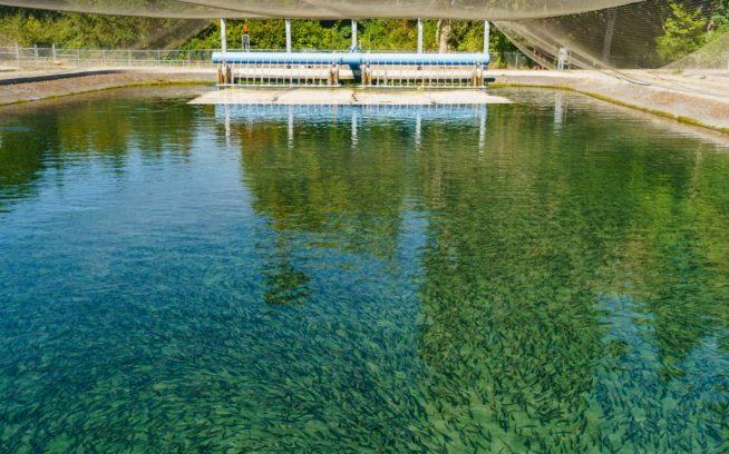 連邦政府が 3億2,500万ドルの復元プロジェクトの一部としてワシントン州のエルワ・リバーのエルワ・ダムとグラインズ・キャニオン・ダムを撤去したのち、グラインズ跡地の上流では、約1世紀ぶりにはじめてサーモンとスチールヘッドの産卵が確認されたが、同川岸にはさらに1,600万ドルをかけた孵化場も建設された。写真:ベン・ムーン