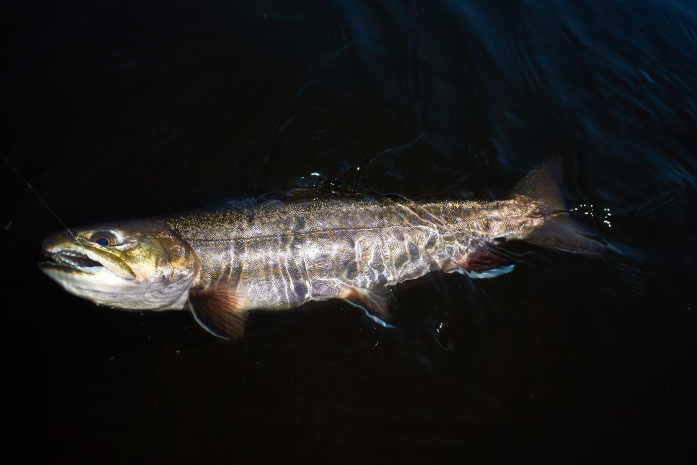 米国ではロッキー山脈の西にブルック・トラウトは生息していなかったが、ニューヨーカーたちが地元と同じ魚を釣りたがったためか、米国全体に広がった。日本では日光の湯の湖、湯川に放たれて野生化している。日本の天然種ではないが、日本のフライフィッシングの始まりと密接な関係があるため、フライフィッシャーから愛されている。 写真:阪東幸成