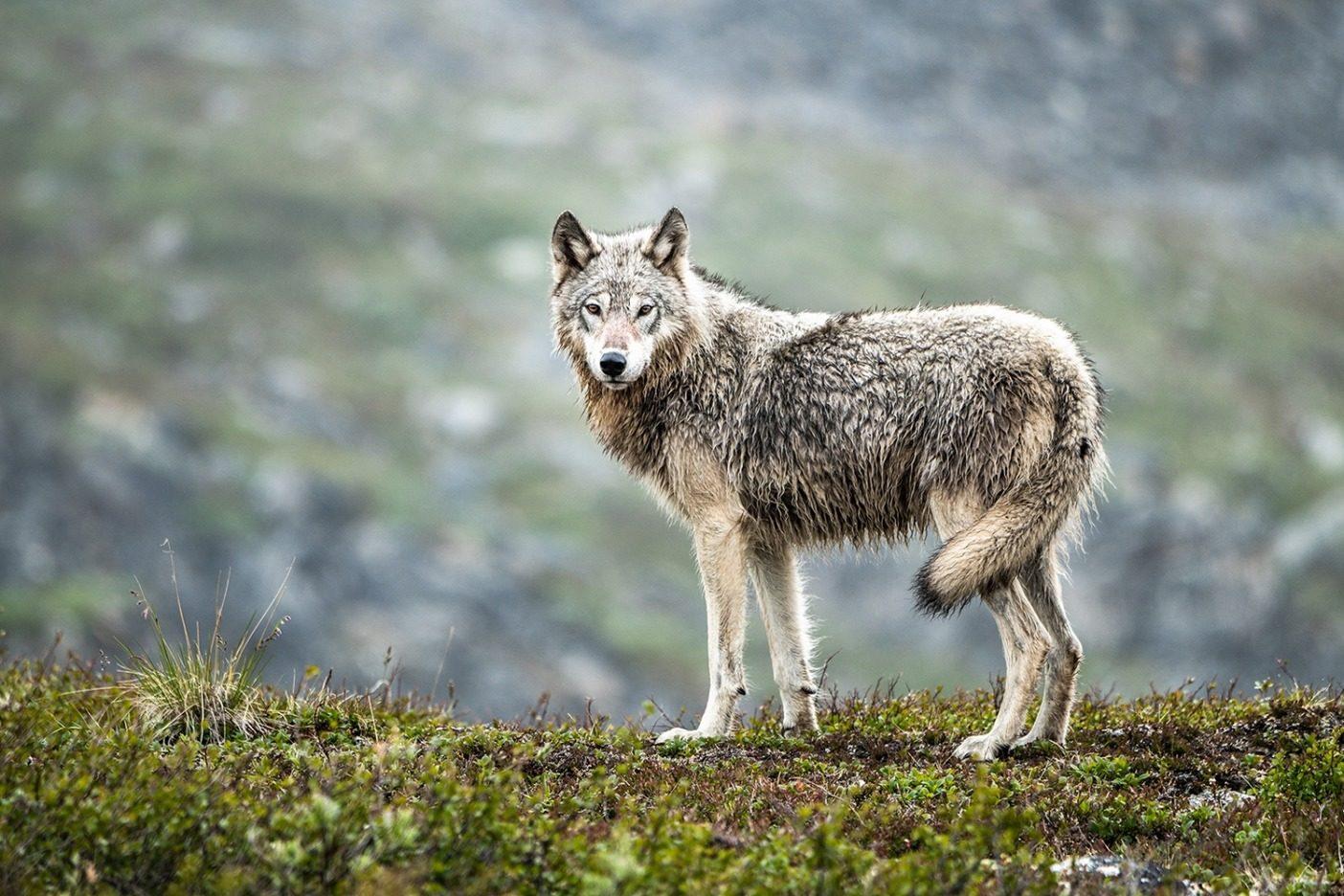 北極圏保護区はハイイロオオカミの生息地でもある。このオオカミはアラスカのジェイゴ・リバーの谷で撮影されたもの。Photo: Austin Siadak