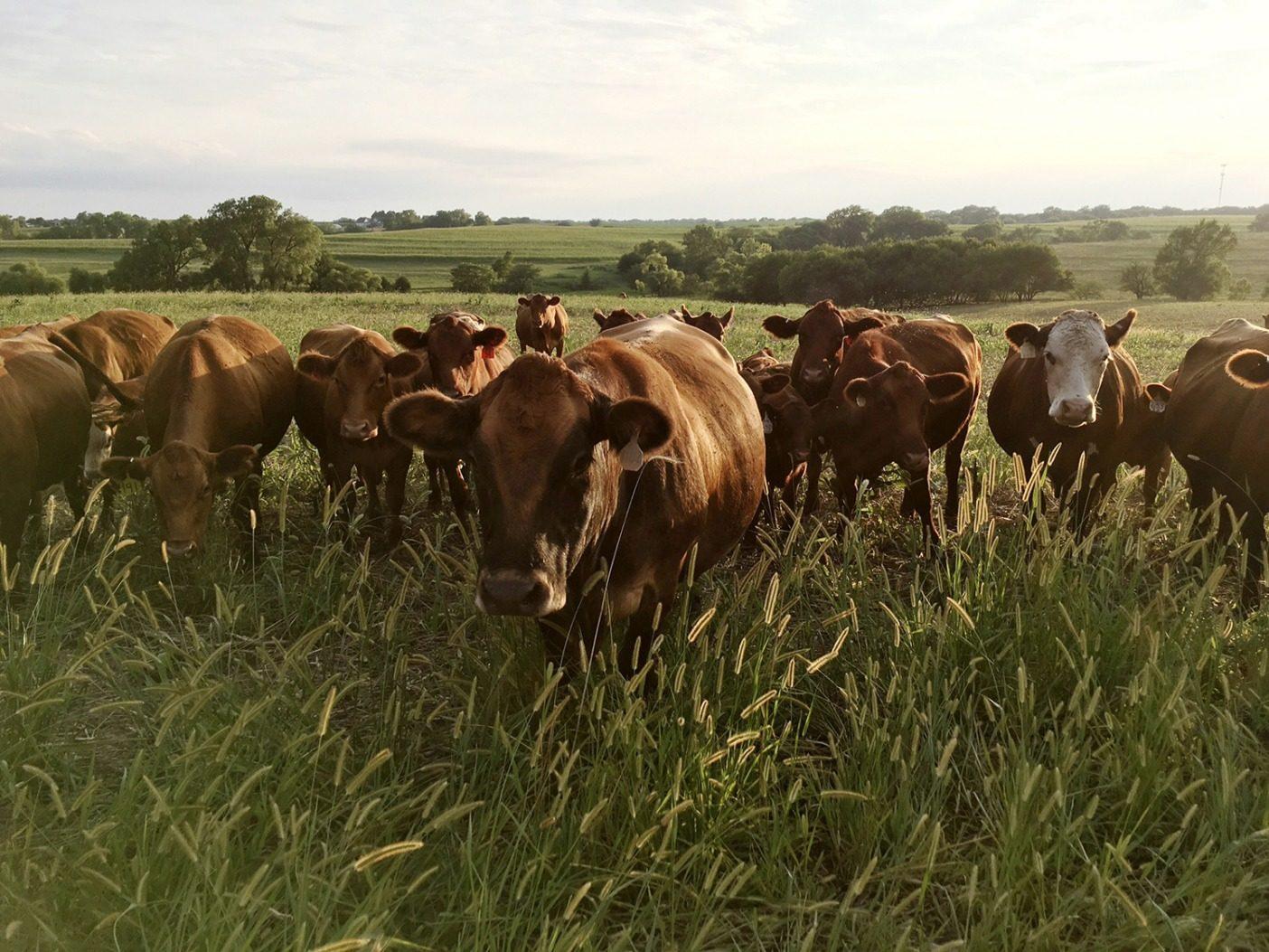 フィッケは牧草と干し草ベールを飼料として家畜を放牧し、牛糞と尿の形で土壌に回帰させる。Photo:Del Ficke