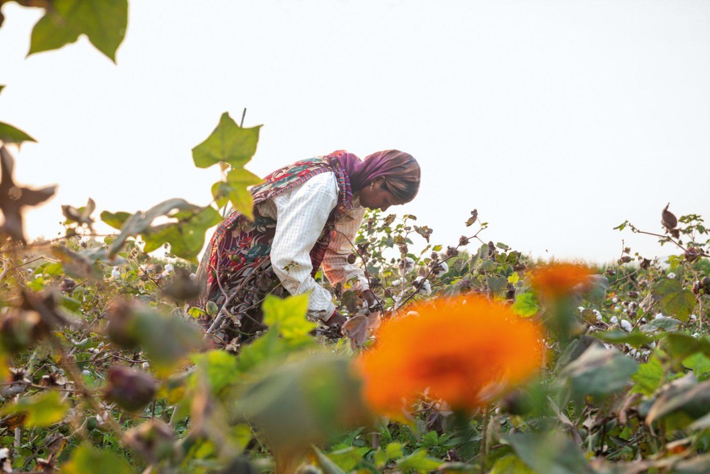 インドでROCを目指す150件以上の小規模農場のひとつで、綿の木を点検する農家。この自然の仕組みのなかで一緒に植えられた鮮やかな色のマリーゴールドやその他の植物は、害虫を引きつける無毒の対策として用いられている。Photo:Tim Davis