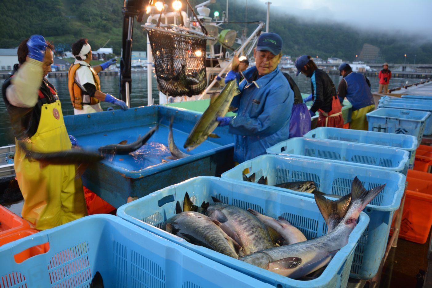 水揚げされたサケを港で漁師が品質などによって仕分けをする。このあと産地市場で競りにかけられる。写真:村上春二
