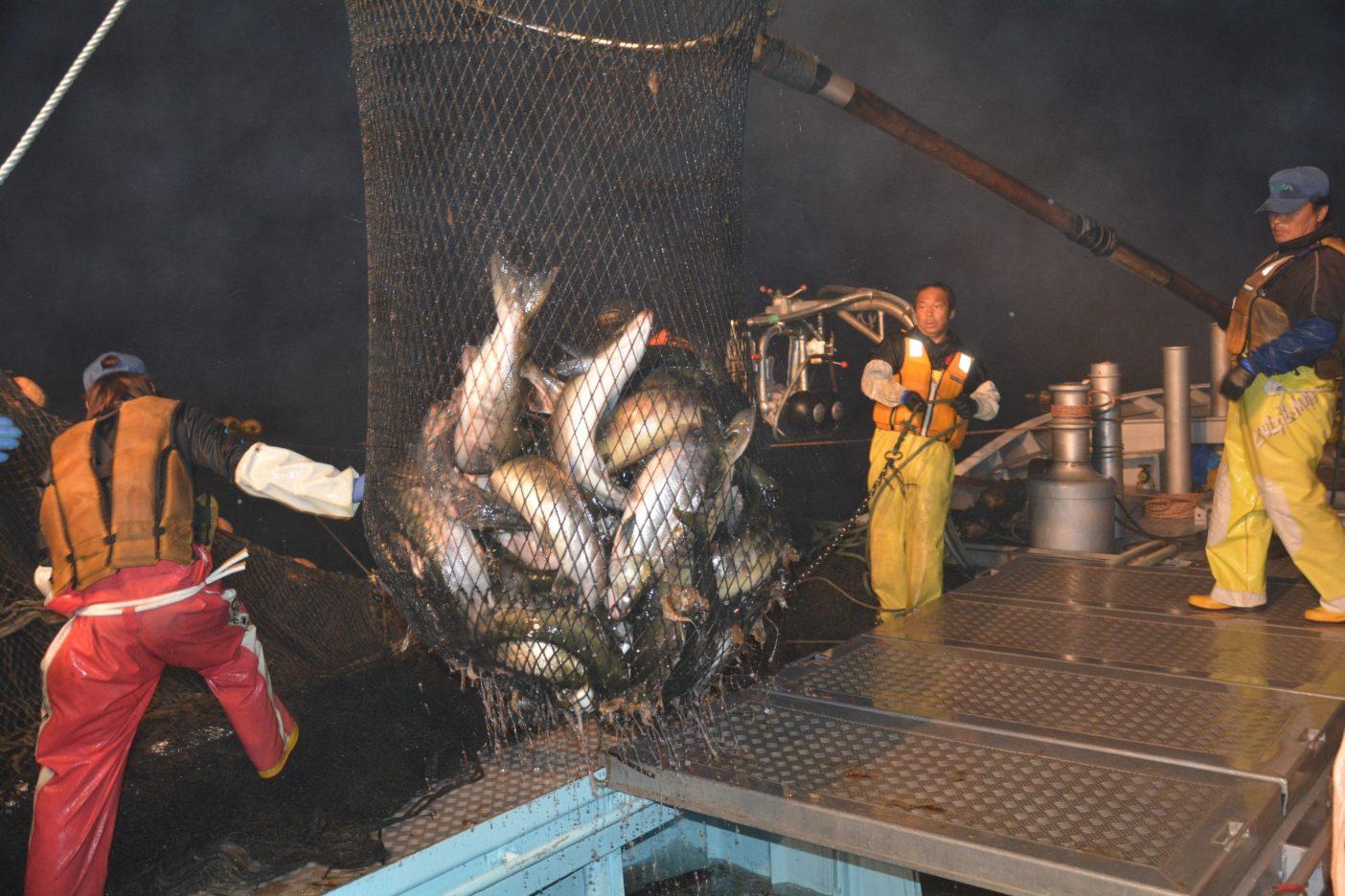 定置網にかかったサケをタモで掬う漁師。危険をともなう作業であるがゆえ、船上には緊張感が漂う。その無駄のない手際の良い作業は圧巻。写真:村上春二