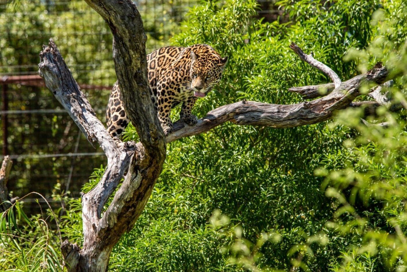 過去にペットとして飼われていたイシスは、イベラに到着以来、孤独を好んでいる。ジャガーの交配の細部を学ぶことがイベラの再野生化に必要な技能のひとつだ。