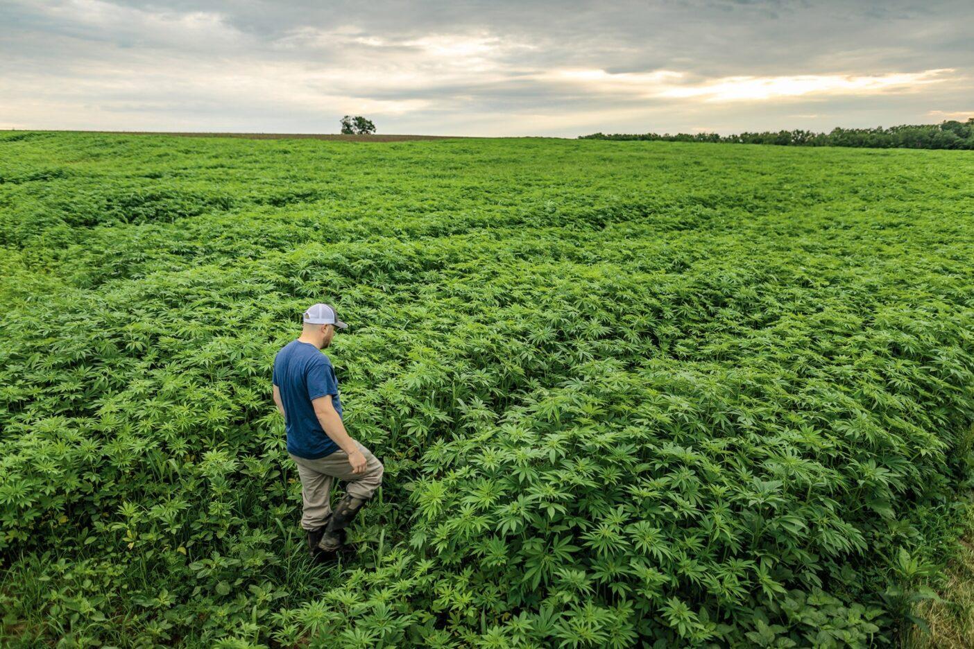 我々の初めての米国産ヘンプの収穫をチェックするレーン・バトラー。2019年の夏にタネを撒き、灌漑や合成肥料を全く使用していない。数週間後には、彼の背丈を超える高さまで作物が育った。ケンタッキー州・パリス・バトラー農場 FOREST WOODWARD