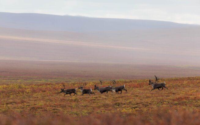 晩夏、ポーキュパイン・カリブーの群れは越冬のためにカナダ北西部へと移動する。群れは地球上の哺乳類としては最長の土地移動ルートをもち、越冬場所と北極圏野生生物保護区の海岸平野にある出産場所のあいだを1年に1,800キロ以上も移動する。グウィッチン族はこの海岸平野を「Iizhik Gwats'an Gwandaii Goodlit(生命がはじまる神聖な場所)」と呼ぶ。何十年にもわたり、グウィッチン族はカリブーとその生活様式を工業開発から守るために闘ってきた。今日その闘いは差し迫る脅威に晒されている。Photo:Keri Oberly