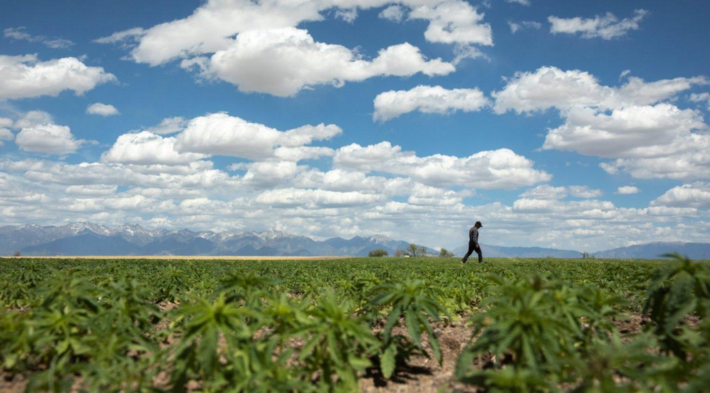 世界最大の高地平野、コロラド州サンルイス・バレーに育つ新たなヘンプ。Photo:Andrew Burr