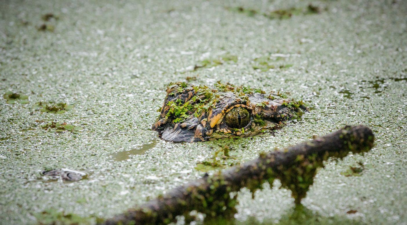 アメリカアリゲーターは1950年代までに絶滅しかけたものの、現在ではフロリダだけで130万頭以上が生息し、ゴルフ場を徘徊したり、アラフィア・リバー州立公園のような野生生物保護区のシングルトラックで日光浴をしている姿が見かけられる。Photo : Nathalie DuPré