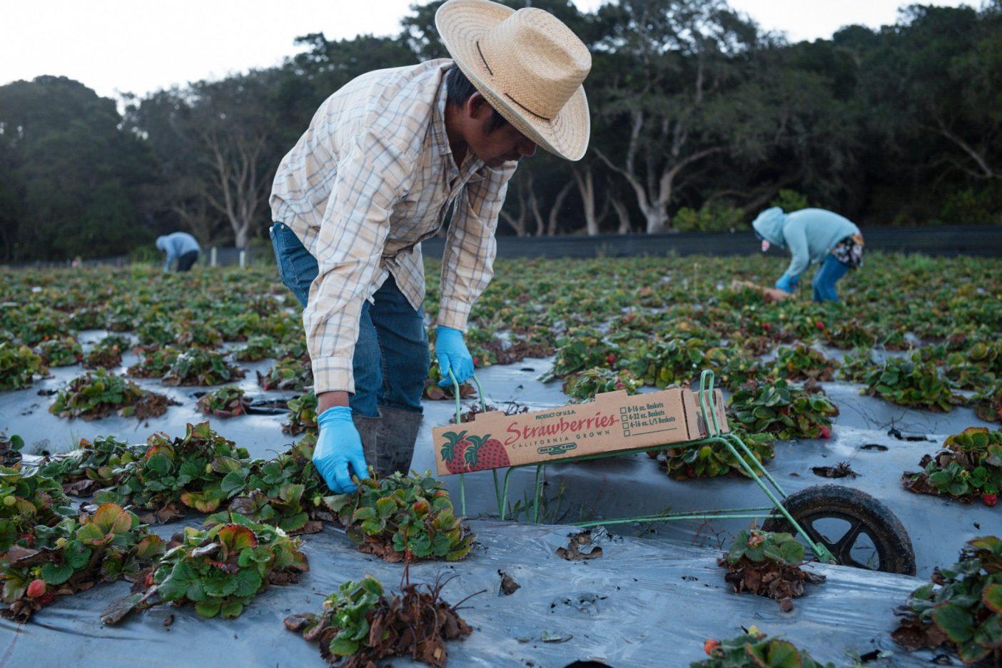 モントレー郡北部の涼しい丘陵でイチゴを摘む農業労働者。カリフォルニア州ロイヤル・オークスのJSMオーガニックス