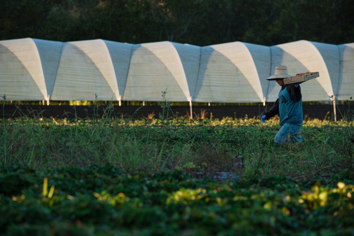 日の出前のイチゴ。カリフォルニア州ロイヤル・オークスのJSMオーガニックス