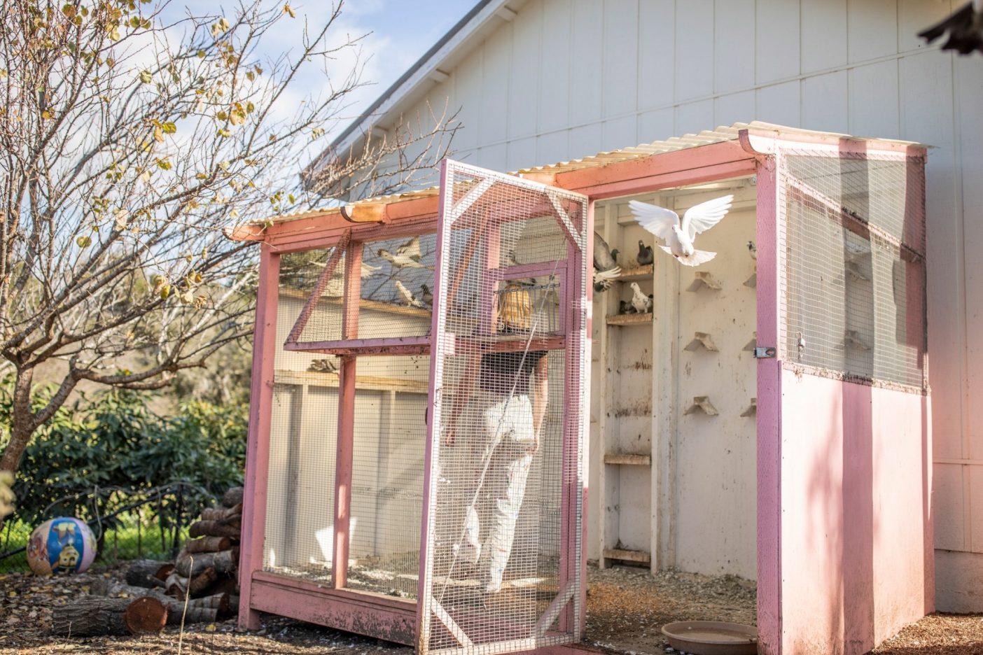 コートニーの庭には、伝書鳩、鶏、元気なバーニーズマウンテンドッグのジャマイカなど、50匹以上のペットがいる。Photo: Tim Davis