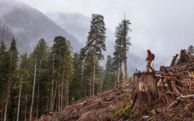 バンクーバー島南部のケイキューズ川流域で、かつてベイスギの原生林があった幅3.7メートルの切り株の上に立ち、最近の皆伐地を見下ろすワット。Photo: Jeremy Koreski